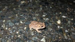 American Toad, Anaxyrus americanus, met